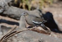 White-winged Dove (Zenaida Asiatica) Perches On A Dead Tree Limb In The Franklin Mountains Near El Paso, Texas