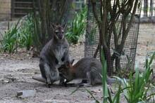 Canguru Amamentando No Artis Zoo De Amsterdam. Kangaroo Artis Zoo, Amsterdam.