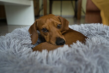 An Red-haired Dachshund Is Resting In A Grey Bed. Dachshund Sleeping In Bed
