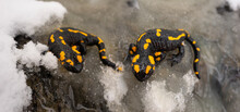 Two Salamanders In An Icy Stream.
