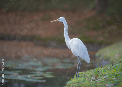 Fototapeta premium Close-up Of White Heron