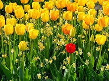 Single Red Tulip Among Multiple Yellow Ones In The Flower Bed