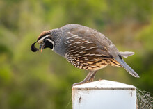 The California Quail (Callipepla Californica) Is A Small Ground-dwelling Bird In The New World Quail Family. They Have A Curving Crest Or Plume That Droops Forward. They Are Common In Monterey County.