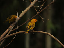 Beautiful Large Nature Image Composed By Two Yellow Golden Brazilian Birds Sitting On A Dry Branch .The Saffron Finch (Sicalis Flaveola) Is A Tanager From South America Common Outside The Amazon Basin