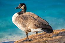 Canada Goose Just Resting