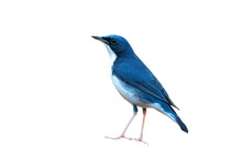 Closeup  Siberian Blue Robin Isolated On White Background