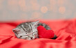 Tabby kitten sleeps with red heart satin bedding. Valentines day concept. Top down view