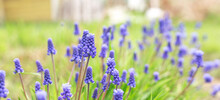 Spring Banner Of Beautiful Grape Hyacinths. Muscari Flowers In Spring Garden. Landscape Panorama, Copy Space. Sun Rays Effect - Image