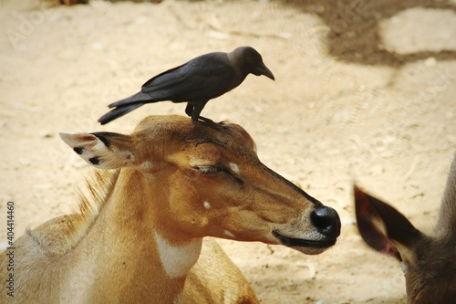 Fototapeta premium Close-up Of Crow On The Head Of Deer