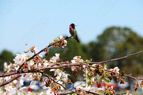Fototapeta premium Low Angle View Of Bird Perching On Cherry Blossom Tree