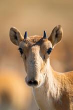 Portrait Of Young Male Saiga Antelope Or Saiga Tatarica