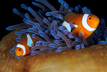 Pair Of Clownfish Swimming In The Tentacles Of Thei Anemone - Amphiprion Ocellaris