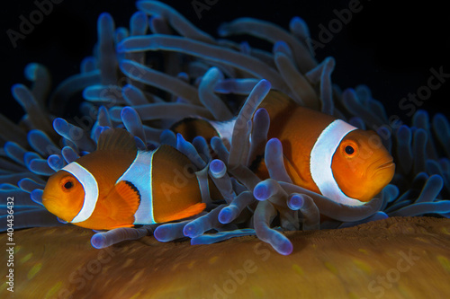 Fotografiet Pair of clownfish swimming in the tentacles of thei anemone - Amphiprion ocellar