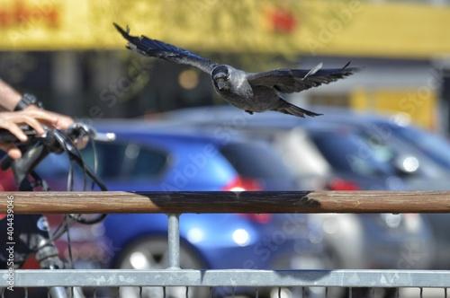 Fototapeta premium Close-up Of Crow Flying