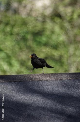 Fototapeta premium Black Bird Perching On Wood
