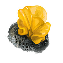 Tremella Mesenterica Yellow Brain, Golden Jelly Fungus, Trembler Witches Butter. Edible Mushroom Closeup Digital Art. Boletus Cap Ande Body. Mushrooming Plant Growing In Forests. Web Print, Clipart.