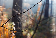 Spider Web In Autumn Forest With Dew, Close-up