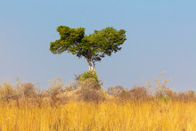 Savanna Landscape With Tree And Termite Mound In The North Of Namibia