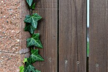 Ivy Leaves Growing On A Wood-concrete Fence. Green Leaves Of A Climbing Plant. Wooden Fence Planks. Pink Concrete Pillar. Creeper Ivy. Hedera Helix.