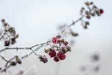 Close Up Of Some Unripened Blackberries Covered With Hoar Frost