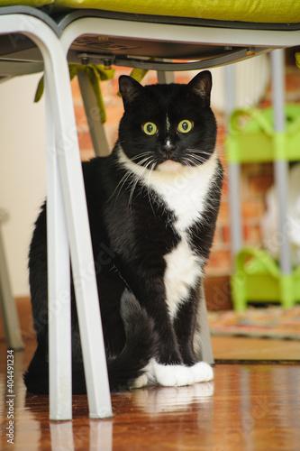 Fototapeta Primo piano di gatto bicolore nero e bianco sotto a una sedia seduto