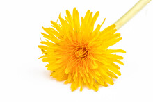 Yellow Dandelion, Taraxacum Officinale On The White Background