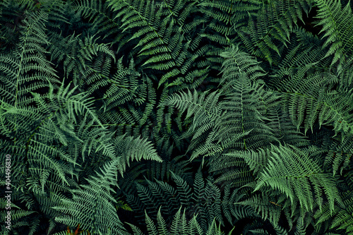 Fototapeta Fern leaves background