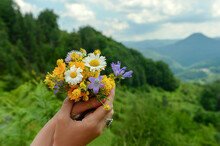 Bouquet Of Freshly Picked Herbs And Wild Flowers In The Hands Of Woman With A Forest Mountain Background
