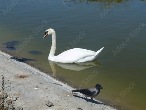 Fototapeta premium Swans Swimming In Lake