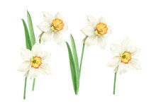 Watercolor Set Of White Spring Flowers Daffodils On White Background, Hand Painted