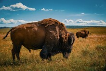 Buffalo In The Field