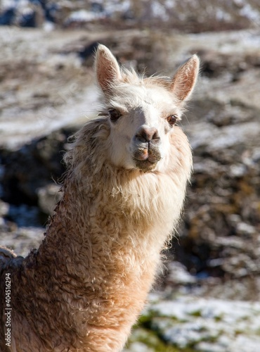 Fototapeta premium llama or lama, one animal head portrait
