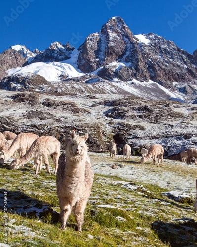 Fototapeta premium llama or lama, group of lamas on pastureland
