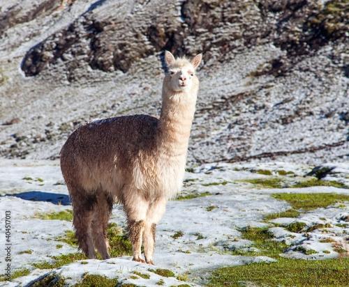 Fototapeta premium llama or lama on pastureland