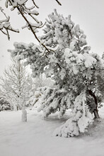 A Day Of Heavy And Continuous Snowfall Weighs Down The Branches Of These Pine Trees On The Yorkshire Smallholding At 900ft
