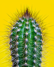Cactus With Thorns On A Yellow Background