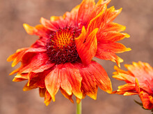 Closeup Of A Beautiful Orange And Yellow Gaillardia X Grandiflora Blanket Flower In A Garden