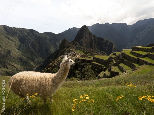 Fotografie, Obraz White llama lama glama animal at Machu Picchu ancient inca citadel sanctuary arc
