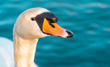 Large White Mute Swan On Lake Water Level View With Macro Close Up Of Eye, Light Catch And Face Beak And Feathers