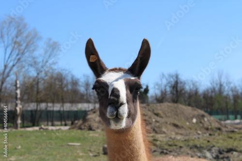 Fototapeta premium Portrait Of Lama Intent On Scrutinizing The Possible Prey