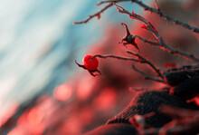 Hand In Glove Holding Wild Rose