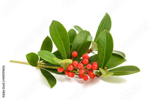 Canvastavla Skimmia japonica branch with red berries