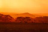 Fototapeta Sawanna - Evening landscape with many animals in Kenyan savanna in yellow and orange colors