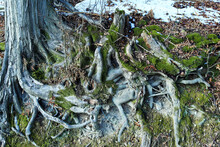 Intertwined Roots Of A Tree Overgrown With Green Moss.
