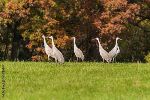 Fototapeta premium Sandhill Cranes Against an Autumn Forest