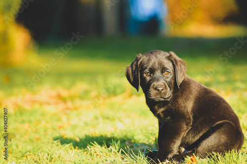 black Labrador puppy on the grass. happy dog sitting in the park. Fototapet