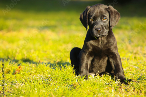 Fotografering Black Labrador puppy on the grass. happy dog sitting in the park.