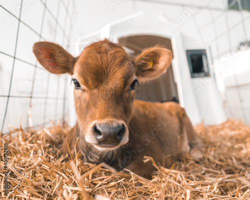 Photo Jersey Cow