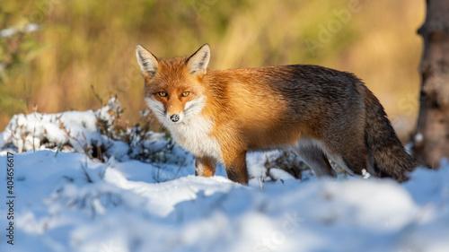 Fototapeta premium Red fox, vulpes vulpes, watching on white pasture in winter nature. Orange predator looking to the camera on snow. Furry animal staring on glade in wintertime.