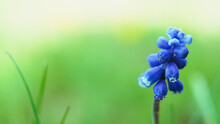 Grape Hyacinths Flower With Small Blue Bulbs Grow In Spring Garden.